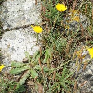 Photographie n°789608 du taxon Leontodon saxatilis Lam. [1779]