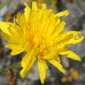 Photographie n°789609 du taxon Leontodon saxatilis Lam. [1779]