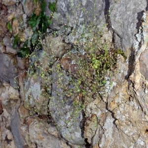 Photographie n°790425 du taxon Arenaria serpyllifolia L. [1753]