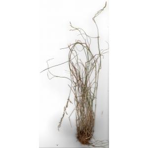 Poa nemoralis subsp. nemoralis var. agrostoides Asch. & Graebn.
