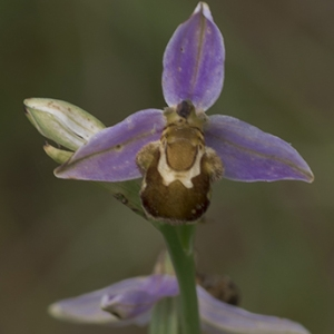 Photographie n°791078 du taxon Ophrys apifera Huds. [1762]