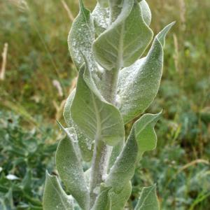 Photographie n°791217 du taxon Verbascum pulverulentum Vill.
