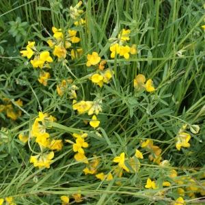 Photographie n°791395 du taxon Lotus glaber Mill.