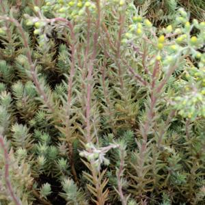 Photographie n°791757 du taxon Sedum rupestre L. [1753]
