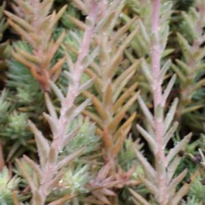 Photographie n°791758 du taxon Sedum rupestre L. [1753]