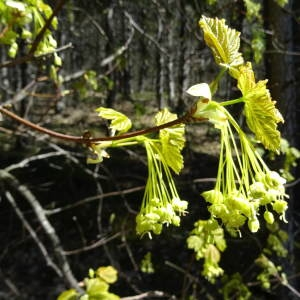 Photographie n°791818 du taxon Acer opalus Mill.