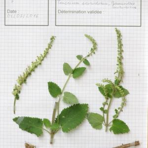 - Teucrium scorodonia L. [1753]