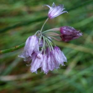 Photographie n°792140 du taxon Allium schoenoprasum L.