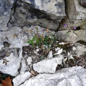 Photographie n°792213 du taxon Chaenorhinum origanifolium subsp. origanifolium