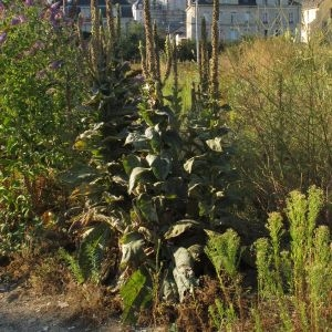 Photographie n°792314 du taxon Verbascum thapsus L.