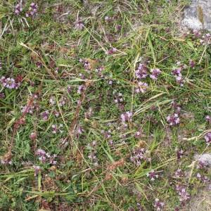Photographie n°793404 du taxon Thymus praecox subsp. arcticus (Durand) Jalás [1970]