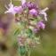 Liliane Roubaudi - Thymus praecox subsp. arcticus (Durand) Jalás [1970]