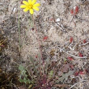 Photographie n°793866 du taxon Leontodon saxatilis Lam. [1779]