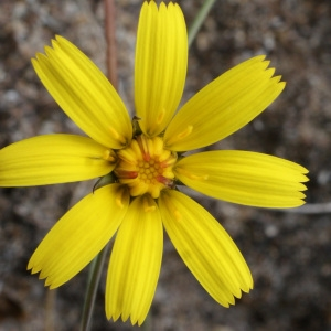 Photographie n°793867 du taxon Leontodon saxatilis Lam. [1779]
