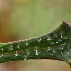 Photographie n°793879 du taxon Leontodon saxatilis Lam. [1779]