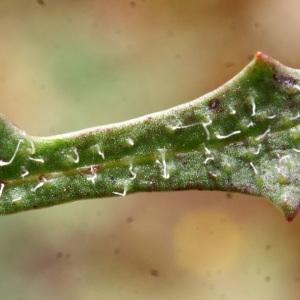 Photographie n°793880 du taxon Leontodon saxatilis Lam. [1779]