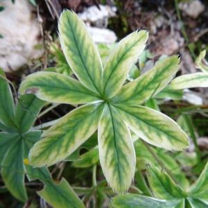 Photographie n°794043 du taxon Potentilla alchemilloides Lapeyr. [1782]