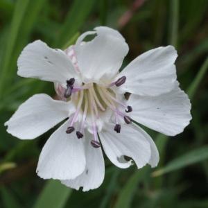 Photographie n°795773 du taxon Silene uniflora subsp. uniflora