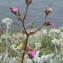 Liliane Roubaudi - Silene dioica var. zetlandica (Compton) Kerguélen [1998]