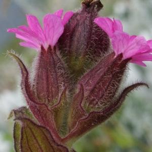 Silene dioica var. zetlandica (Compton) Kerguélen (Silène des Shetlands)