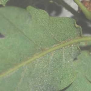 Photographie n°796873 du taxon Quercus pubescens Willd. [1805]