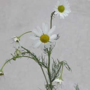 Photographie n°796889 du taxon Tripleurospermum inodorum (L.) Sch.Bip.