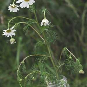 Photographie n°796891 du taxon Tripleurospermum inodorum (L.) Sch.Bip.