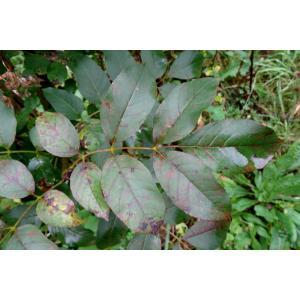 Fraxinus ornus L. subsp. ornus (Frêne à fleurs)
