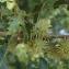 Liliane Roubaudi - Quercus cerris L. [1753]