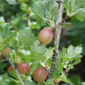 Photographie n°797849 du taxon Ribes uva-crispa L. [1753]