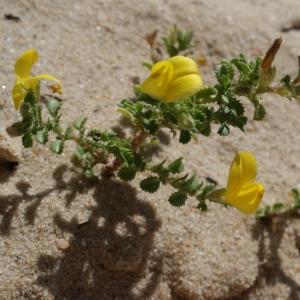 Photographie n°797905 du taxon Ononis variegata L.