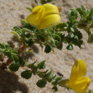 Photographie n°797906 du taxon Ononis variegata L.