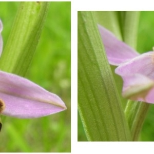 Photographie n°798676 du taxon Ophrys apifera Huds. [1762]