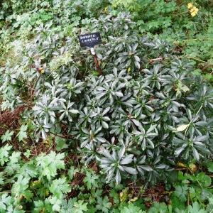 Photographie n°798820 du taxon Daphne laureola L. [1753]