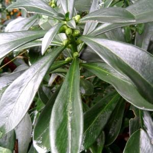 Photographie n°798825 du taxon Daphne laureola L. [1753]