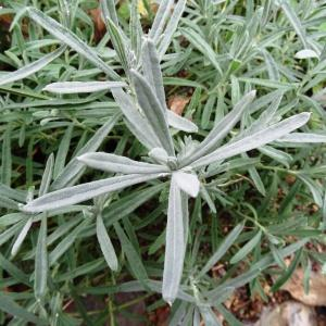 Photographie n°799417 du taxon Lavandula latifolia Medik.