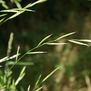 Photographie n°800952 du taxon Brachypodium pinnatum (L.) P.Beauv. [1812]