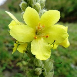 Photographie n°801134 du taxon Verbascum thapsus L.