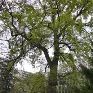 Photographie n°801268 du taxon Chêne pédonculé
