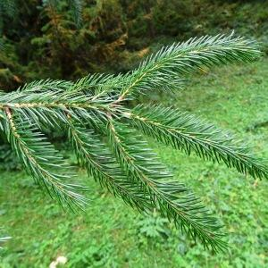 Photographie n°801463 du taxon Picea brachytyla (Franch.) E.Pritz. [1900]