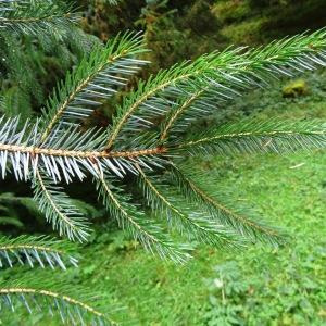 Photographie n°801466 du taxon Picea brachytyla (Franch.) E.Pritz. [1900]