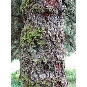Picea likiangensis (Franch.) E.Pritz.