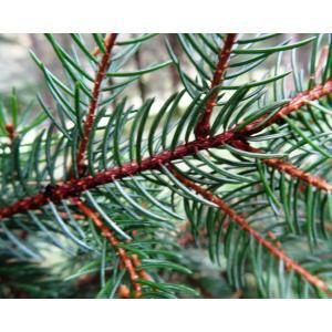 Picea glehnii Mast.
