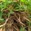 Florent Beck - Trifolium alpinum L.