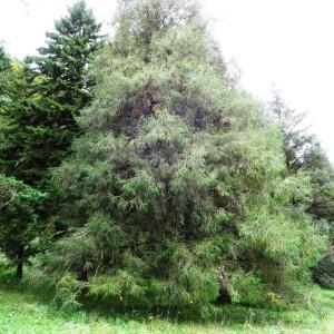 Photographie n°803731 du taxon Picea brachytyla (Franch.) E.Pritz. [1900]