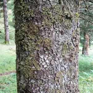 Photographie n°803735 du taxon Picea brachytyla (Franch.) E.Pritz. [1900]