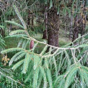 Photographie n°803743 du taxon Picea brachytyla (Franch.) E.Pritz. [1900]