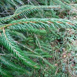 Photographie n°803750 du taxon Picea brachytyla (Franch.) E.Pritz. [1900]