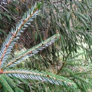 Photographie n°803752 du taxon Picea brachytyla (Franch.) E.Pritz. [1900]