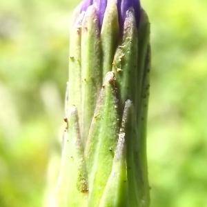 Photographie n°803861 du taxon Lactuca L. [1753]